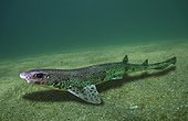 Small-spotted catshark, Scyliorhinus canicula. Lateral view, resting on sand. Composite image. Portugal. Composite image