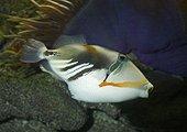 Baliste Picasso noir (Rhinecanthus rectangulus) en aquarium