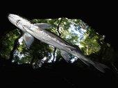 Esturgeon blanc (Acipenser transmontanus) sous la surface. Image composite. Image composite