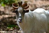 Portrait of Girgentana Goat (Capra aegagrus hircus), Sicilia