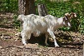 Girgentana Goat (Capra aegagrus hircus), Sicilia