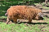 Sheep pig Mangalitza (Sus scrofa domesticus), Hungaria