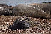 Young Elephant seal (Mirounga leonina) scratching itself on the shore, Falklands Islands