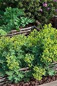 Common Lady's Mantle (Alchemilla vulgaris) in a vegetable garden, France