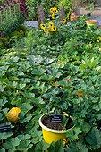 Jardin potager avec des cucurbitacées, Jardin de la Maourine, Jardin appartenant au muséum d'histoire naturelle de Toulouse, France