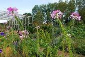 Cléome épineux (Cleome spinosa) en fleurs, Jardin de la Maourine, Jardin appartenant au muséum d'histoire naturelle de Toulouse, France