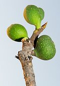 Fig tree branch (Ficus carica) with three figs