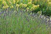 Fine Lavender (Lavandula angustifolia) in bloom in a garden