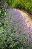 Chemin bordé de Chataire (Nepeta racemosa), Jardin de la Maourine, Jardin appartenant au muséum d'histoire naturelle de Toulouse, France