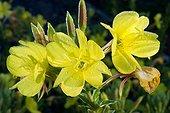 Common eveningprimrose (Oenothera biennis) flowers