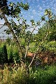 Poire 'Saint Jean' (Pyrus communis) dans les jardins de la Maourine, Jardins appartenant au muséum d'histoire naturelle de Toulouse, France
