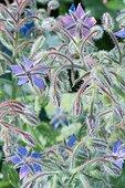 Bourrache officinale (Borago officinalis) en fleurs