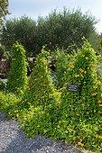 Oeil de Suzanne (Thunbergia alata) sur tipi dans un jardin, Jardin de la Maourine, Jardin appartenant au muséum d'histoire naturelle de Toulouse, France