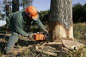 Bucheron tronçonnant un Chêne dans la foret de Tronçais, France