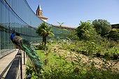 Paon bleu (Pavo cristatus) dans les jardin du muséum d'histoire naturelle de Toulouse, France