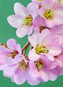 Winter Blooming Bergenia (Bergenia crassifolia) perennial plant native to Siberian regions.