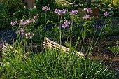 Society garlic (Tulbaghia violacea) in bloom in a garden