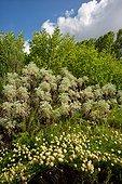 Santoline verte (Santolina chamaecyparissus) au premier plan. Jardin de la Maourine, Jardin appartenant au muséum d'histoire naturelle de Toulouse, France