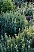 Wormwood (Artemisia herba alba) in a kitchen garden