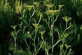 Fennel (Foeniculum vulgare) in bloom in a kitchen garden