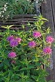 Scarlet beebalm (Monarda didyma) flowers in a garden