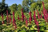 Amarante sanglante (Amarantus cruentus) dans un jardin