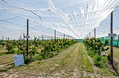 Protection of cherry trees with sheet cover, spring, Pas de Calais, France