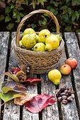 Harvest of quinces in a garden in autumn, Lorraine, France