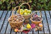 Harvest of fruits in a garden in autumn, Lorraine, France