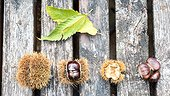 Chestnuts and Husk on a garden table, autumn, Moselle, France