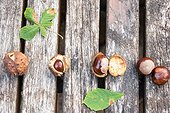 Horse chestnuts and Husks on a garden table, autumn, Moselle, France