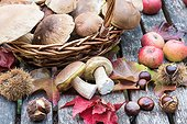 Harvest of King boletes in a basket, autumn, Lorraine, France