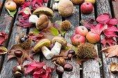 King boletes on a table in a garden, autumn, Lorraine, France