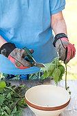 Making of nettle manure