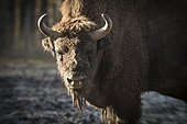 European Bison (Bison bonasus), Han Park, Belgium.