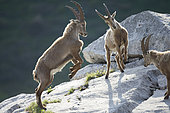Young Ibex ( Capra ibex) male playing fighting between males, Alps , Switzerland.