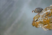 Rock Partridge ( Alectoris graeca ) on rock , Alps, Switzerland