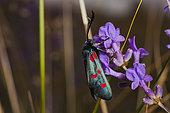 Burnet (Zygaena sp) on flower in summer, France