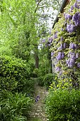 Small garden path along a facade covered with Wisteria (Wisteria sp), Japanese Spindle (Euonymus japonicus), Firethorn (Pyracantha sp), Box Honeysuckle (Lonicera nitida)