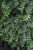 Box Honeysuckle (Lonicera nitida) foliage