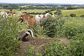 Badger (Meles meles) and Cattle in a meadow, England, Spring