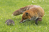 Red fox (Vulpes vulpes and Hedgehogs, (Erinaceus europaeus), fox looking at a hedgehog, England, Summer