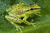 Speckled glass frog (Mantidactylus pulcher), Madagascar
