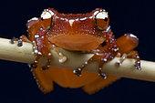 Cinnamon frog (Nyctixalus pictus), Borneo