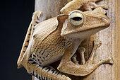 Crested bamboo tree frog (Polypedates otilophus), Borneo
