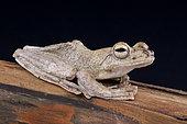Brown flying frog (Rhacophorus annamensis), Vietnam