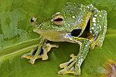 Kio flying frog (Rhacophorus kio) on a leaf