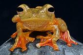 Harlequin flying frog (Rhacophorus pardalis), Borneo