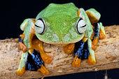 Flying frog (Rhacophorus reinwardtii), Thailand
