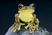 Pepper tree frog (Trachycephalus venulosus), Brazil